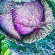 Beautiful leafy cabbage with greens and purples